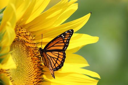 papillon: Monarch sur un tournesol