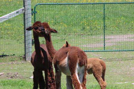 Family of Alpacas