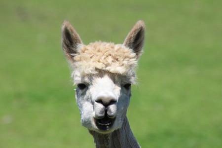 Alpaca Closeup Фото со стока
