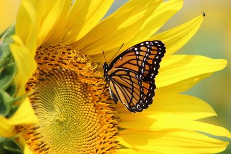 girasol: Monarca en el girasol Foto de archivo