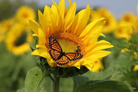 girasol: Monarch y una abeja en un girasol