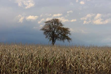 single tree: Single Tree in Corn Field