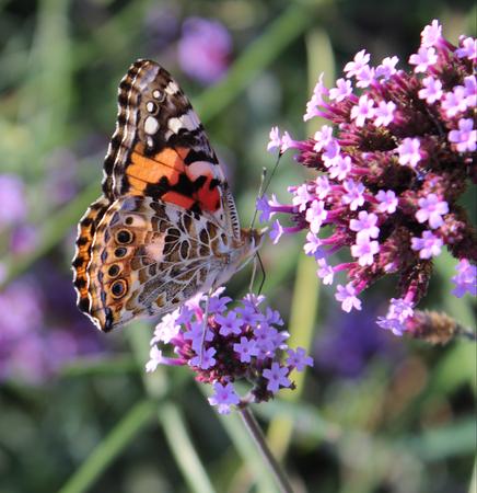 Painted Lady Butterfly on a Flower Zdjęcie Seryjne