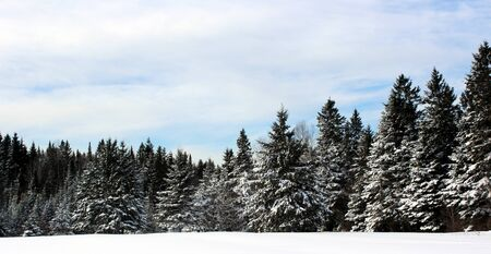 Spruces covered with Snow Stock fotó
