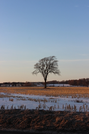 A lonely tree in late winter