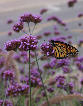 Viceroy butterfly on flower