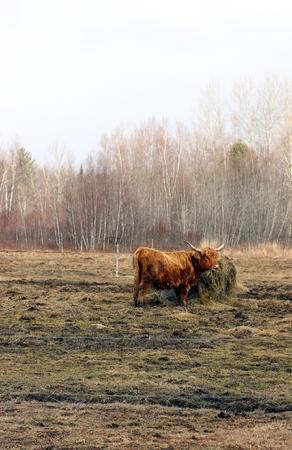 Longhorn Cattle Grazing Stock fotó