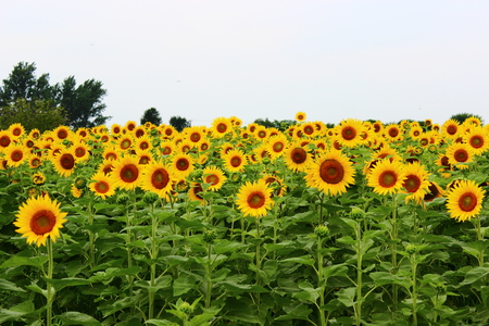 Field of sunflowers Stock fotó