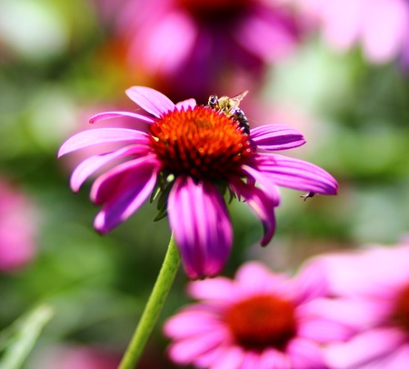 Bee on a echinacea flower