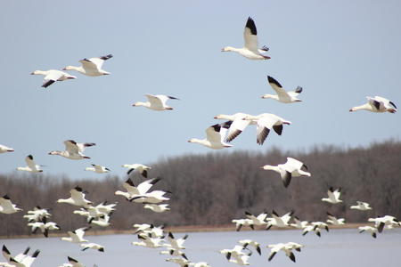 Snow geese flying over water