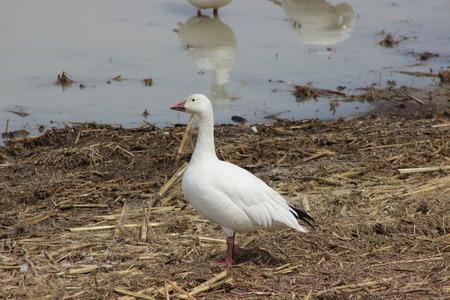 Single Snow Goose in Spring