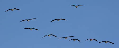 Geese flying away with a blue sky