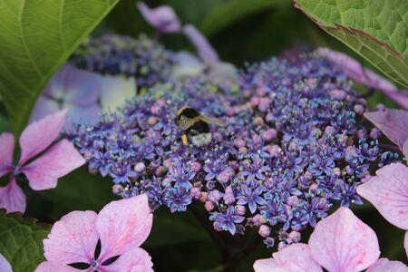 Bee on a flower in Laragh, Ireland
