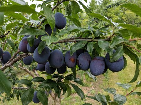 Plums in tree ready for harvest Stock fotó