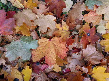 Maple leaves on the ground on fall with great foliage