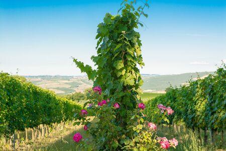 vi�edo: Los vi�edos de Montalcino, vino, Siena, Toscana, Italia