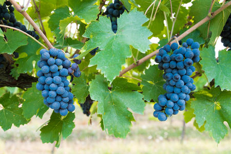 bacchus: Bacchus, The clusters of grapes of the Val di Chiana