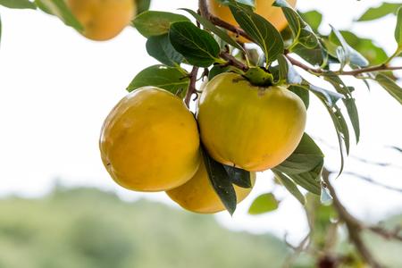persimmon tree: Three colorful fruits in Japanese persimmon tree khaki