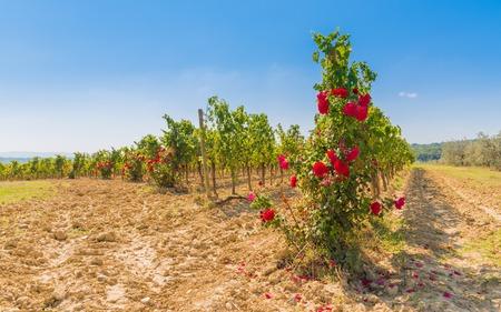 montepulciano: The vineyard wines to mature nobile di montepulciano, Siena