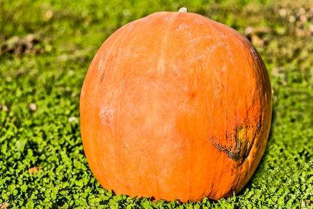 caes: Big Halloween pumpkin on the green grass