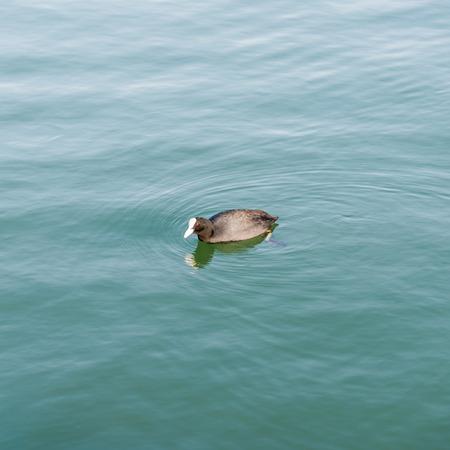 beak: Duck Coot from black feathers and beak, Lake Trasimeno - Umbria