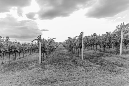 bacchus: Bacchus, The clusters of grapes of the Val di Chiana B&N Stock Photo