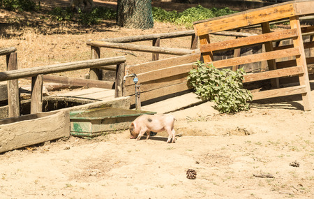 young pig: Young pig who is eating on the farm