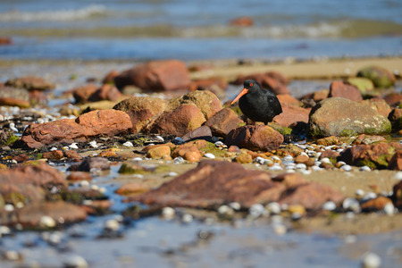 variable: Variable Oystercatcher on the beach Stock Photo