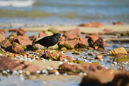 variable: Variable Oystercatcher with open beak