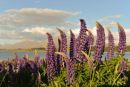 tekapo: Lupine flowers at lake Tekapo