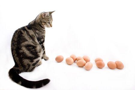 gaurd: small dark shaded cat watching many chicken eggs