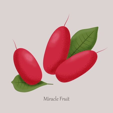 Red berries miracle fruit, synsepalum dulcificum on a gray background.  イラスト・ベクター素材