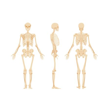 Set of skeletons isolated on white background. Anterior, lateral, posterior view of skeletal system of human. Realistic vector illustration for anatomy, anthropology, paleontology, osteology banner.