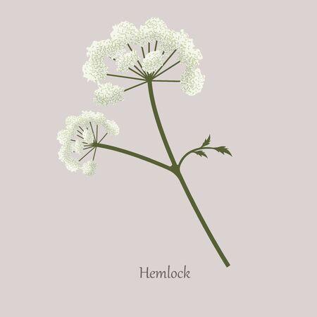 Hemlock, Poison Hemlock, Conium maculatum medicinal plant with white flowering.