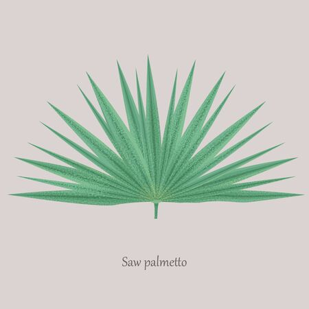 Saw Palmetto, Serenoa repens medicinal tree.