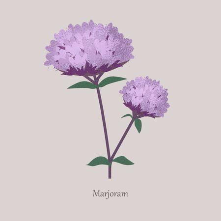Perennial herb marjoram with purple bloom.