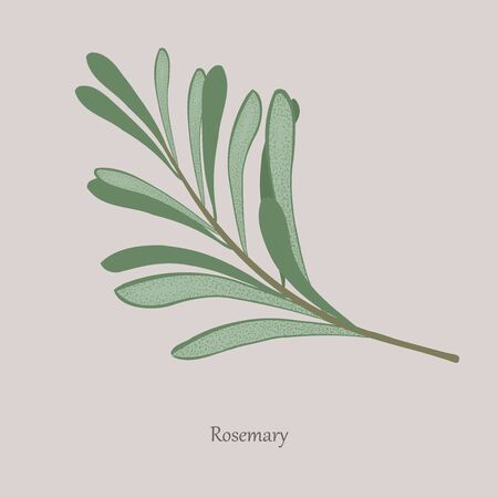Sprig of fragrant rosemary on a gray background.