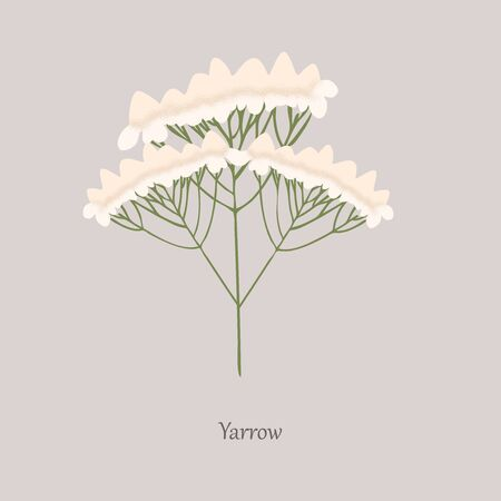 Yarrow, Achillea millefolium with white flowering on a gray background.