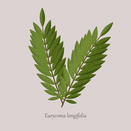 Tongkat Ali, Eurycoma longifolia, Pasak Bumi medicinal plant.