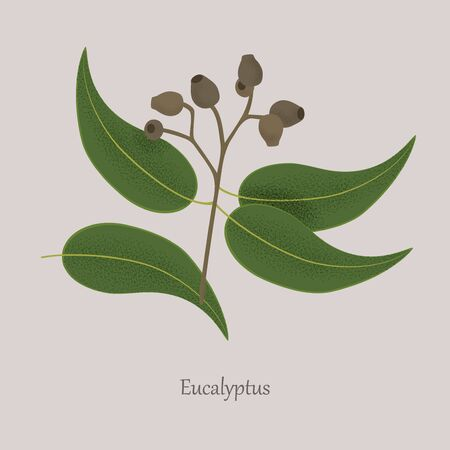Medicinal plant eucalyptus, seeds, leaves on a branch.
