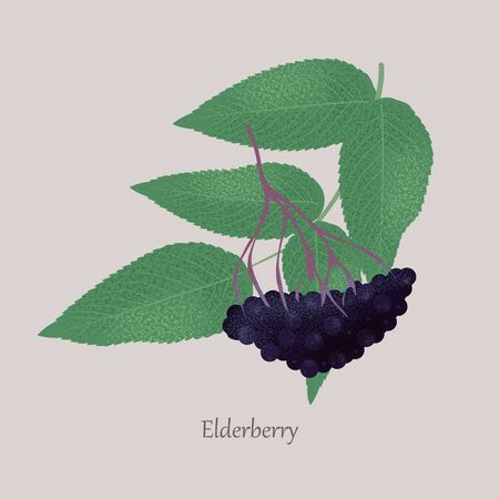 Ripe black elderberry with twig, berries, leaves.