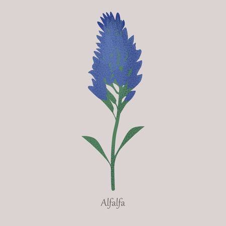 Alfalfa, medicago sativa herbaceous plant with blue flowering.