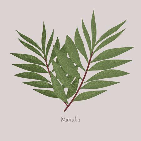 Leptospermum scoparium or manuka flowering beneficial plant. Illusztráció