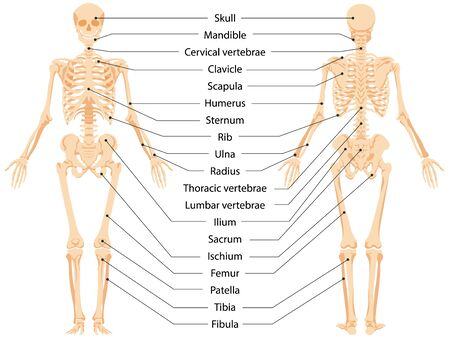 Human anatomical skeleton infographic front view and back view vector graphic illustration. Cartoon person body bones and skull with names to study medical biology system isolated on white