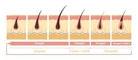 Hair growth cycle illustration. Anatomical diagram of development hair follicles from anagen telagen care papillae skin epidermis and health promoting stimulation vector growth hair cells.