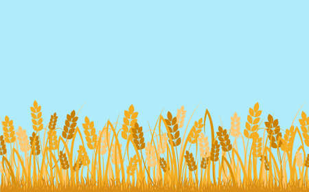 Wheat field background. Golden ears of cereals against blue sky decorative rural ecological area with ripe harvest fertile abundant meadow with organic vector product.