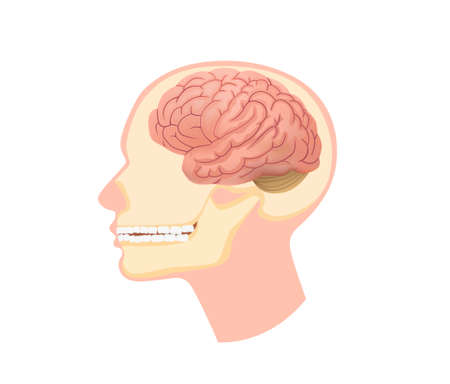 Anatomical structure human head illustration. Skull in section with brain and submandibular muscles dental physiology and vector anatomy.