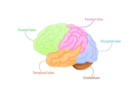 Structure of cerebral cortex illustration. Colored anatomical regions responsible for intelligence and movement through nervous vector system.