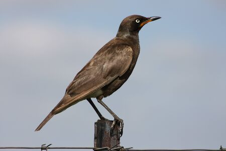 pied: Pied Starling Stock Photo