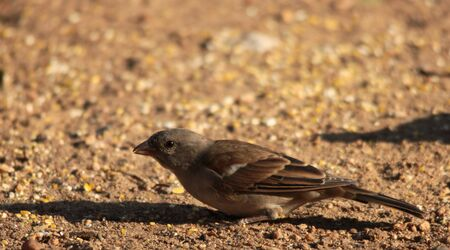 passer by: Southern Grey-headed Sparrow - Passer Diffusus